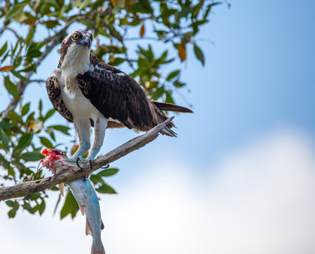 osprey with fish in tree
