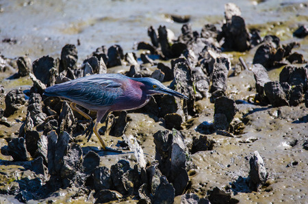 Tri colored heron on clams