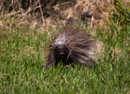 porcupine in meadow