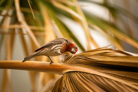 house finch on palm branch