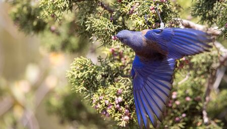 western bluebird eating juniper berries