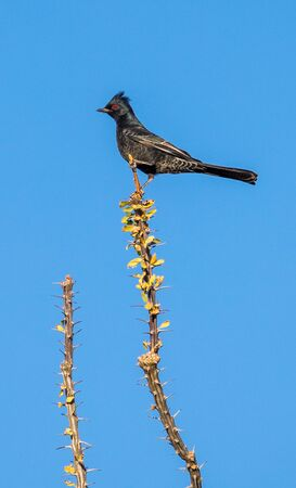 male Phainopepla on cacti