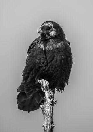 raven on treetop Stock fotó
