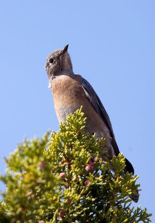 western bluebird on juniper Stock Photo
