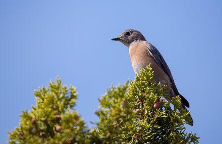 western bluebird on juniper tree Stock Photo