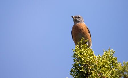 western bluebird in juniper