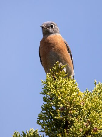 western bluebird on juniper tree Stock fotó