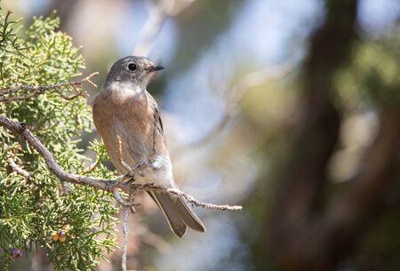 female western bluebird in juniper Stock Photo