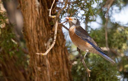 western bluebird eating juniper berry