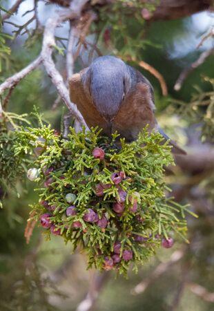 western bluebird eating berries