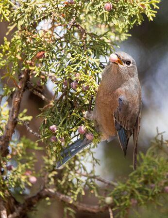 female bluebird with juniper berry Stock Photo