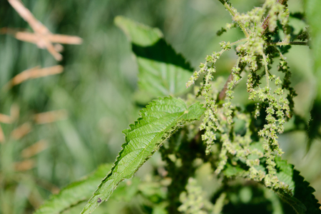 healer: stinging nettle green grass grows on the field among the other flowers plants. Stock Photo