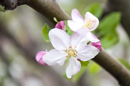 Close up of blooming apple tree