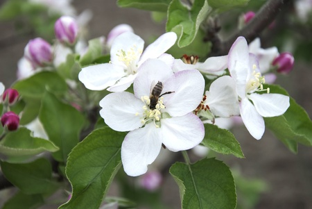 Close up of bee pollinating apple blossom