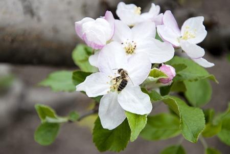 blossom honey: Close up of bee pollinating apple blossom
