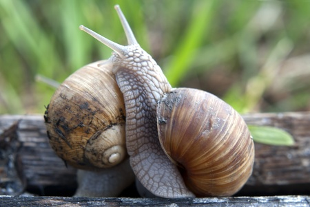 slime: Close up of two snails on wooden board