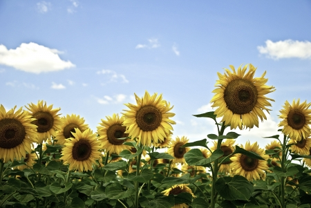Sunflower field with a bright blue sky on a sunny summer day