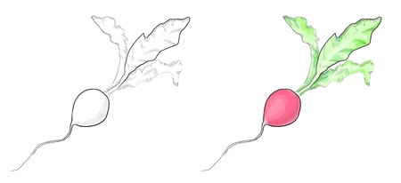 Eps 10 vector radish sketch in two variants, monochrome and colorful Stock Vector - 14811389