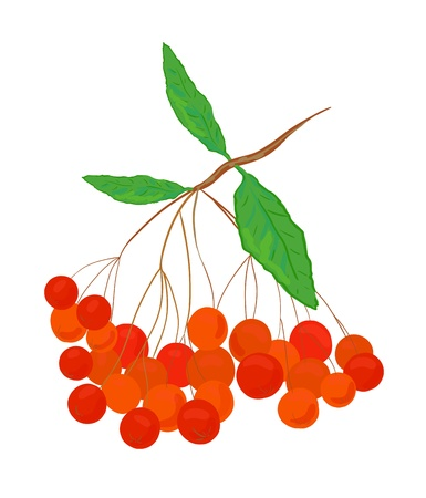 Ep colorful vector ashberry illustration Stock Vector - 15202108