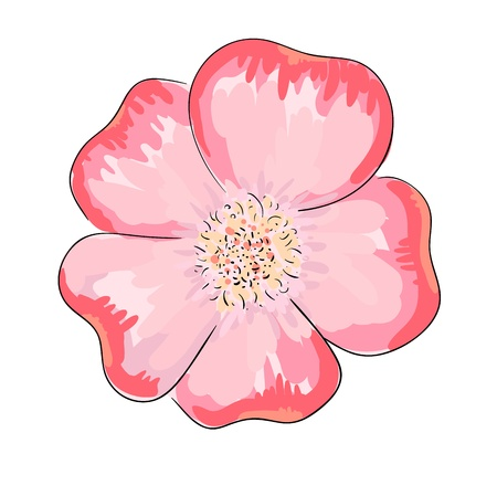 colorful vector illustration of dog rose