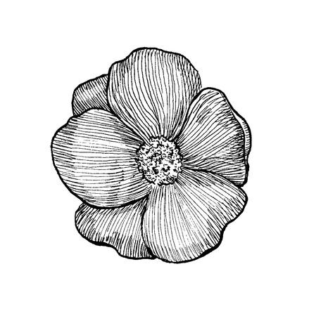 dog rose: Black and white sketch of a dog rose flower  Ink pen hatching