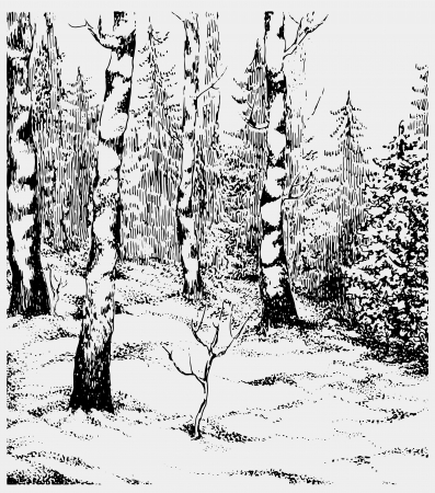 birch forest: Black and white hand darwn landscape. Vector illustration Illustration