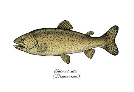 Brown Trout. Colorful ink style fish collection Stock Photo