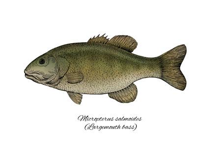 largemouth bass: Bocazas. Colecci�n de peces de tinta estilo colorido Foto de archivo
