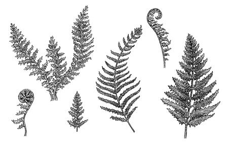 シダ - 植物の図。手のセットには、優れた品質と detalization の白と黒のスケッチが描かれています。ラスター形式。