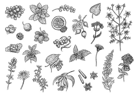 Tea Collection: fruits, herbs and berries. Set of hand drawn black and white sketchy illustrations of excellent quality and detalization. Raster format. A great choice for your awesome design! Stock Photo