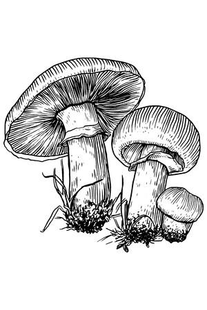 spores: Mushroom, vector, drawing, engraving, illustration, common, field, champignon