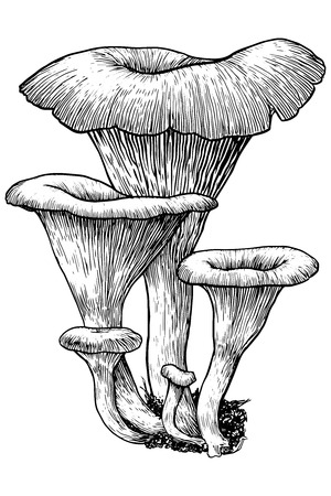 mycology: Mushroom, vector, drawing, engraving, illustration, group, family, funnel, Clitocybe