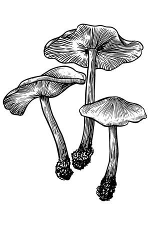 mycology: Mushroom, vector, drawing, engraving, illustration, small, tiny group Illustration