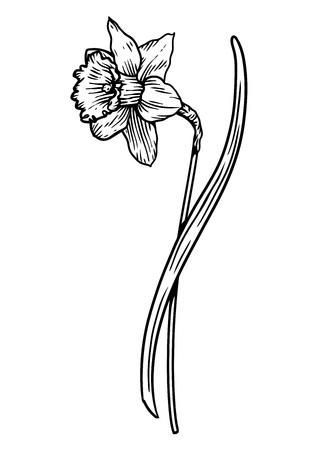 Daffodil flower illustration, drawing, engraving, line art