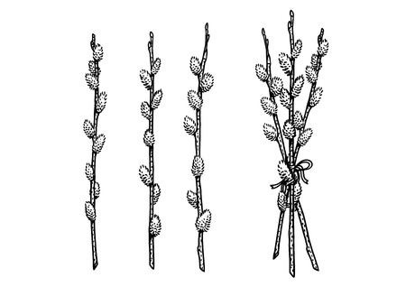 Line art-Pussy willow illustration, drawing, engraving.