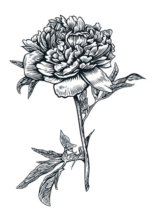 Peony flower illustration, drawing, engraving, line art