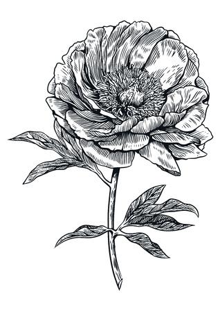 Peony flower illustration, drawing, engraving, line art
