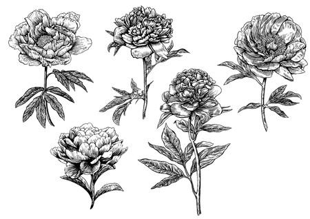 Peony flower illustration, drawing, engraving, line art Stock Vector - 71309421