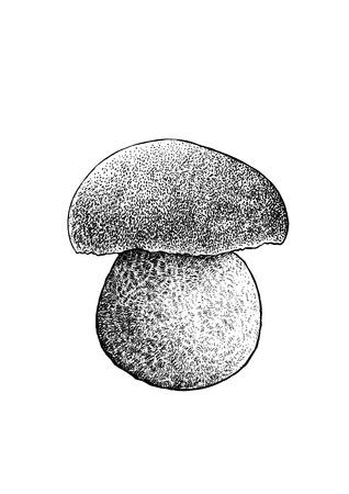 gill: Boletus mushroom illustration, drawing, engraving, line art Illustration