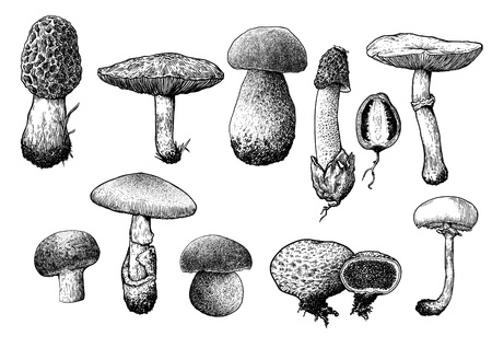mycology: Mushroom collection illustration, drawing, engraving, line art