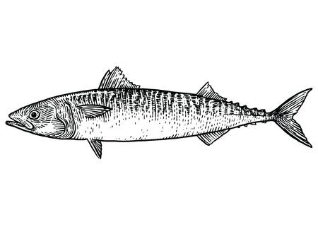 Caballa ejemplo de los pescados, dibujo, grabado, arte lineal, realista Ilustración de vector