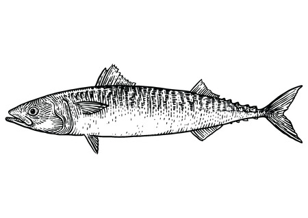 Mackerel fish illustration, drawing, engraving, line art, realistic Ilustração