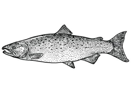 Zalm vissen illustratie, tekening, gravure, zeer fijne tekeningen, realistisch