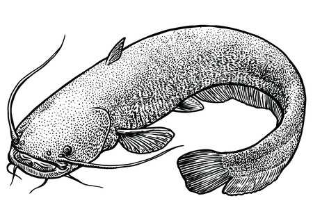 Catfish fish illustration, drawing, engraving, line art, realistic