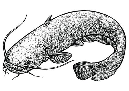 Katvis vis illustratie, tekening, gravure, lijn kunst, realistisch