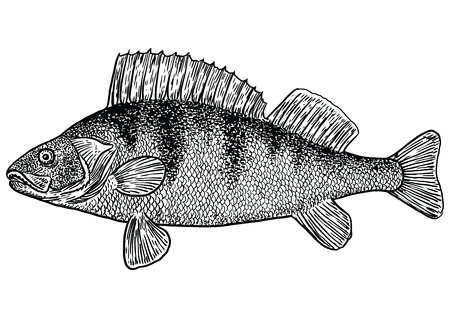 Perch fish illustration, drawing, engraving, line art, realistic