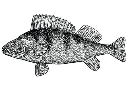 Perch fish illustration, drawing, engraving, line art, realistic