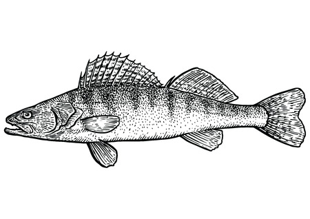 pike: Zander, pike fish pearch illustration, drawing, engraving, line art, realistic