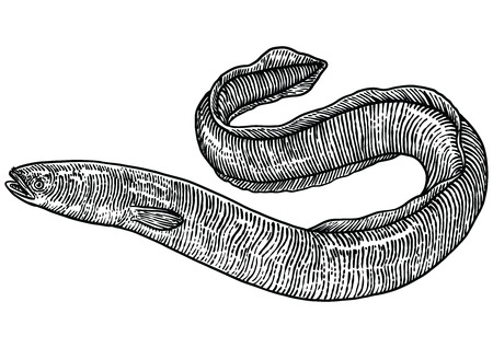 Eel illustration, drawing, engraving, line art, realistic