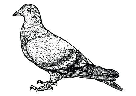Pigeon illustration, drawing, engraving, line art, realistic Stock Illustratie